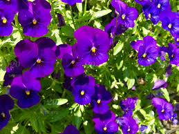 Purple Flowers Backgrounds Nature Flower Purple Natural Flowers Background Purple