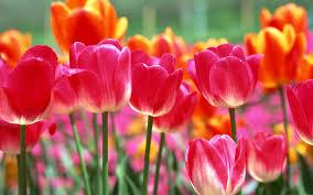 spring tulip desktop wallpaper. Interesting Desktop Spring Tulips Wallpaper  WallpaperSafari With Tulip Desktop S
