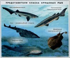 Происхождение классификация и значение рыб в природе Биология Многообразие видов современных хрящевых рыб