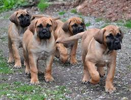 boerboel all big dog breeds boerboel puppy 2