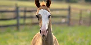Genetics Behind Horses Face And Leg Markings Studied The