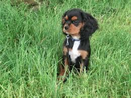 cavalier king charles spaniel black and tan puppy. Plain Cavalier With Cavalier King Charles Spaniel Black And Tan Puppy S