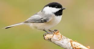 <b>Black</b>-capped Chickadee Identification, All About Birds, Cornell Lab ...