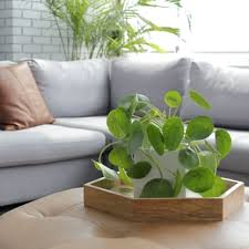 caring for your chinese money plant