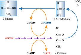 alcohol fermentation yeast. \u201da diagram of the biochemical pathway for alcohol fermentation yeast