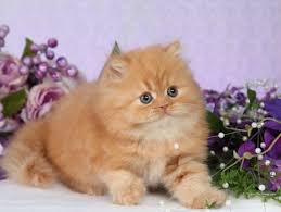 teacup persian cat. Modren Persian Weird Cat Breed The Teacup Persian To F