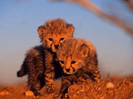 baby animals wallpapers. Exellent Animals Wallpaper Baby Animals  Cheetahs Thumbnail For Wallpapers I
