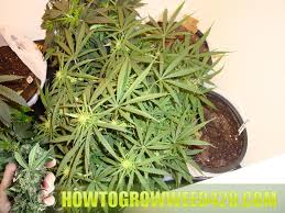 this is the core of growing weed especially when focusing on sea of green type grows