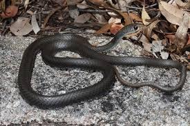 Yellow Faced Whip Snake The Australian Museum