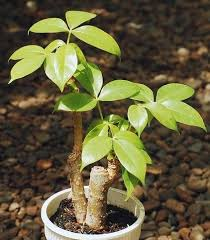 types of money plants all you need to