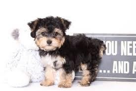 wendy female yo chon puppy