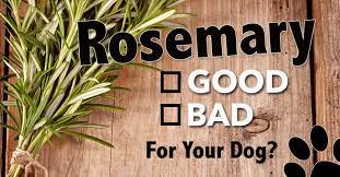 is rosemary good for dogs dogs naturally