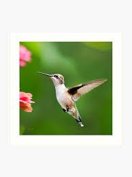 Flying Hummingbird Square Art Print