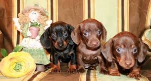 isabella mini dachshund puppies for in wa or ca az nv