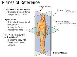What Plane Divides The Body Into Anterior And Posterior