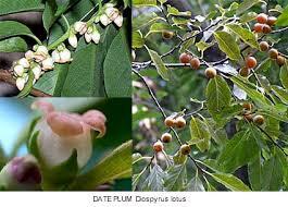 PLANTS U0026 FLOWERS OF GREEK MYTH 2Lotus Fruit Tree