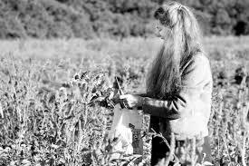 The Vineyard Gazette - Martha's Vineyard News | Year Four Brings Growing  Pains at Thimble Farm