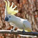 Images & Illustrations of cacatua