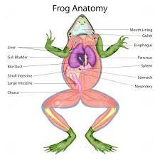 Parts Of A Frog Body Parts Of A Frog Frog Anatomy Coloring Worksheet Com Body Parts