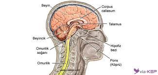 Sinir Sistemi Nedir? | Viakep