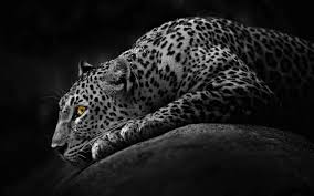 full hd animal wallpapers. Wonderful Full 1920x1080 192 Jaguar HD Wallpapers  Backgrounds  Wallpaper Abyss And Full Hd Animal