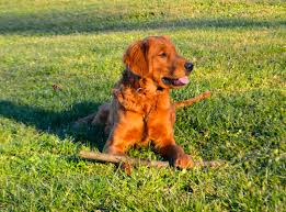 red golden retriever. Contemporary Red Red Golden Retriever Puppies Born On August 28th 2018 Puppies Ready For  Their Forever Homes October 23rd 2018 AKC Limited Registration 250000 Throughout E