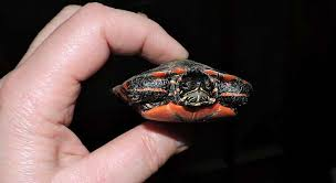 Painted Turtle Growth Rate How Fast Do Painted Turtles