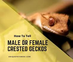 Gecok genjer / leopard gecko with fudgee s reptiles and exotics facebook : Six Ways To Tell A Crested Gecko Is A Male Or Female