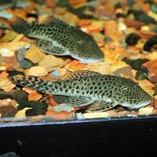 Image result for plecostomus fish