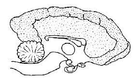 Dog_brain_unlabelled nervous system worksheet wikieducator on nervous system printable