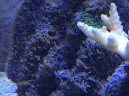 Strane alghe acquario marino il forum del magazine danireef