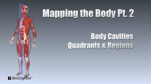 The liver is situated in the upper right and left quadrants. Mapping The Body Pt 2 Cavities Quadrants Regions Youtube