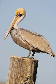 Brown Pelican Bird Gallery Houston Audubon