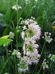 Allium cernuum - Michigan Flora