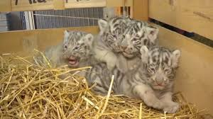 white tiger with blue eyes in snow. Perfect Snow 4 Rare White Tiger Cubs With Blue Eyes Cry Out While On Display For First  Time On In Snow I