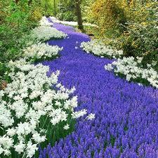 grape hyacinth bulbs. Wonderful Bulbs Grape Hyacinth Bulbs Muscari  Armeniacum SHIPPING NOW With N