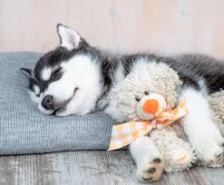 how much do siberian huskies cost the