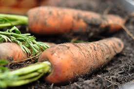「carrot farm」の画像検索結果