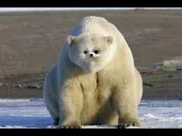 grolar bear size new breed of danger hybrid grolar bears growing in numbers youtube