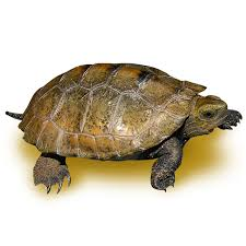 box turtle size breeding size adult japanese wood turtle trio for sale the