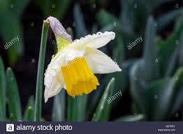 washington daffodil flower at roozen garden near la conner