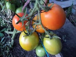 <b>Томат Стеша</b>: отзывы, фото, урожайность, описание и ...