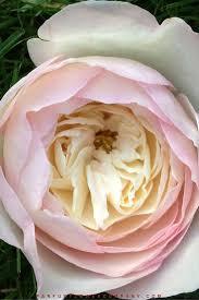 david austin wedding rose keira 006