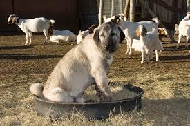 Risultati immagini per pastore anatolia