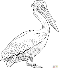 Small Picture Realistic Pelican coloring page Free Printable Coloring Pages