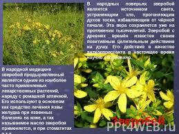 Презентация на тему Лекарственные растения класс скачать  В народной медицине зверобой продырявленный является одним из наиболее часто применяемых лекарственных растений наряду с