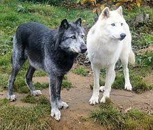 black and white furred gray wolves