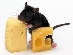 Рак молочной железы мышей крыс опухоли симптомы рака диагностика  Рак молочной железы у мышей и крыс
