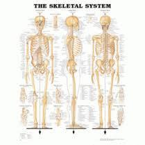 Anatomical Medical Charts