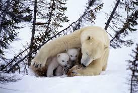 Resultado de imagem para mae ursa